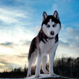 Husky met een hobby